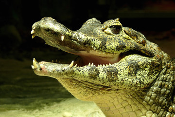 Close-Up Of Crocodile During Night