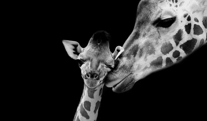 Foto op Plexiglas Giraffe Beautiful Cute Giraffe Playing