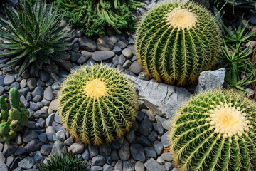 Green prickly cactus top view on a background of stones