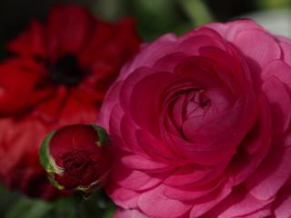 赤い花のアップ写真。