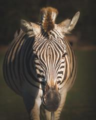 Aluminium Prints Zebra close up of a zebra