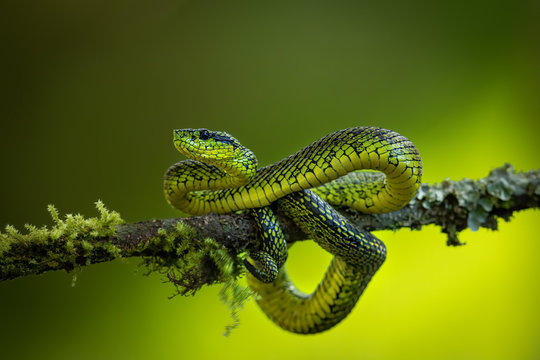 Amazing Black-speckled palm-pit viper (Bothriechis nigroviridis) sitting on a branch with lovely green background. Natural rain forest of Costa Rica is full of interesting animals, just be careful.