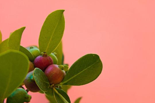 Cattley guava, strawberry guava or cherry guava on a pastel orange background, Exotic Fruit scientific name Psidium cattleyanum