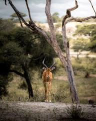 Wall Murals Antelope Impala tanzanie