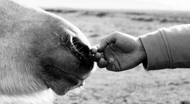 Close-Up Of Hand Touching Horse Nose