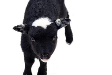Newborn lamb on a white background, top view. Small sheep lamb looking at camera