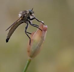 Detalle mosca asesina Asilidae sspps