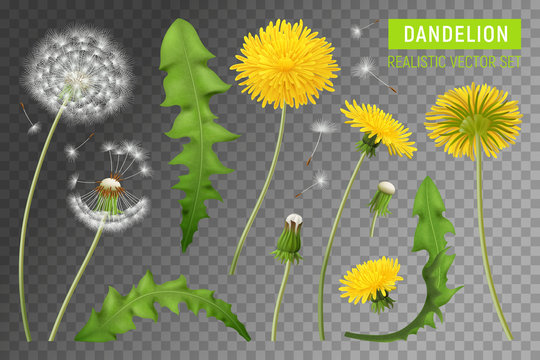 Realistic Dandelions Transparent Set
