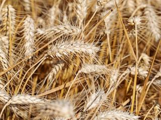 Reifer Roggen, Secale cereale, zur Erntezeit