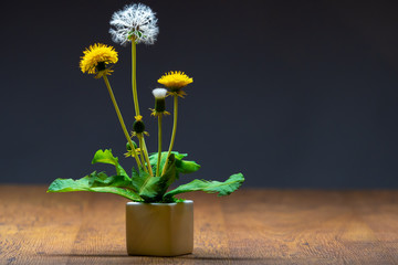 This plant is a dandelion. On the table is a white pot with a dandelion. Dandelion is a plant with buds, yellow flowers and white seeds. Beautiful weed. Wild plant.