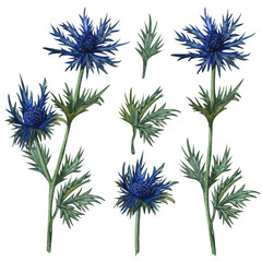 Watercolor feverweed, thistle, blue thorn set. Hand drawn . herbal clip artof leaves and thistle flower. Honey herb illustration.