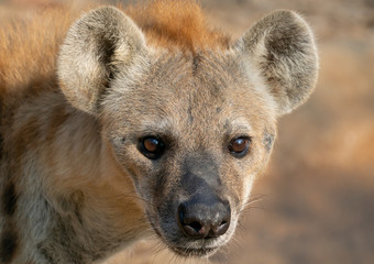 In de dag Hyena spotted hyena head close up