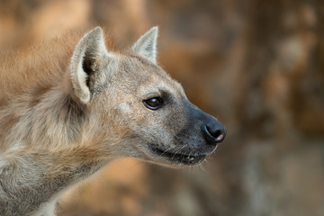 Foto auf Leinwand Hyane spotted hyena head close up