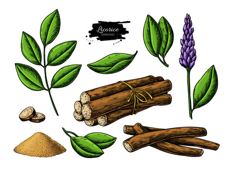 Licorice vector drawing. Bunch of roots, plants, branch with flower and leaves.