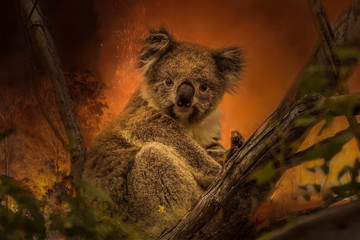 Deurstickers Koala Kanfgaroo Island, South Australia- December 2019: Koala on a eucalyptus tree in an approaching bushfire.
