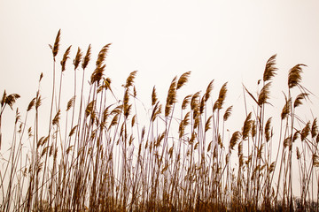 Dry reeds swing in the wind