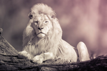Black And white photo Of white lion sitting on Jungle.