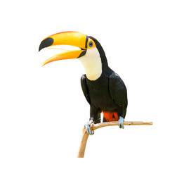 Spoed Fotobehang Toekan Toucan bird in a tree branch on white isolated background