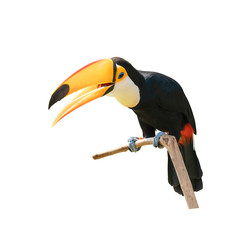 Foto op Plexiglas Toekan Toucan bird in a tree branch on white isolated background