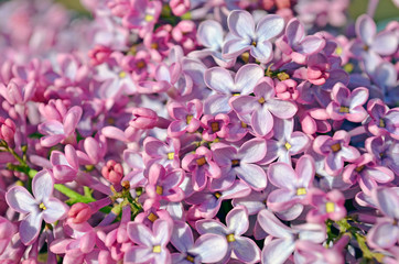 Wall Murals Lilac Beautiful lilac background. Spring lilac violet flowers