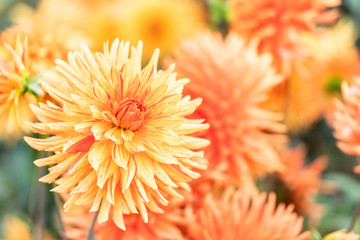 Deurstickers Dahlia Macro of a yellow dahlia