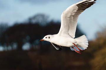 Black-headed gull (Chroicocephalus ridibundus) in flight in early morning lighti, n London