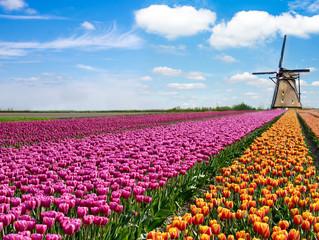 Obraz Piękny magiczny wiosenny krajobraz z polem tulipanów i wiatrakami na tle zachmurzonego nieba w Holandii - fototapety do salonu