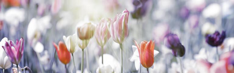 Spoed Foto op Canvas Tulp tulpen rot violett grau panorama