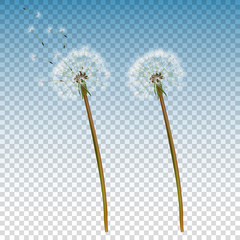 Vector 3d Realistic Dandelion Icon Set Closeup Isolated on Transparent Background. Nature Floral Spring or Summer Concept. Botanical Floral Design Template