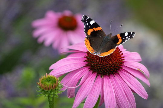 Admiral butterfly on a coneflower