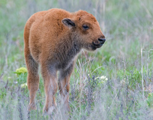 Bison calf in the Wichita Mountains