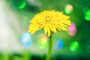dandelion - yellow fluffy flowers. funny dandelions smile face, cute picture. summer time season.