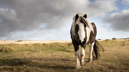 A wild pony grazes on Bodmin Moor, Cornwall