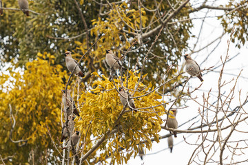 waxwings are sitting on a branch near the mistletoe