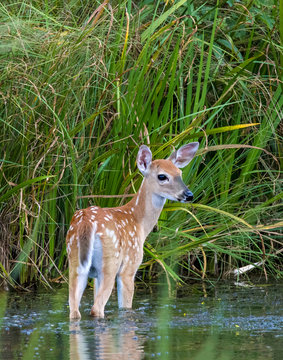 White-tailed Deer fawn standing in water