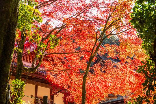 日本の秋 滋賀 湖東三山 西明寺64  Autumn in Japan, Shiga Prefecture, Koto-sanzan Saimyoji Temple #64