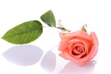 beauty orange rose flower isolated on white background