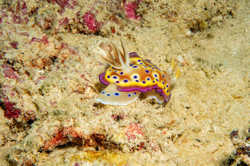 Beautiful yellow nudibranch on the coral