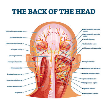 Back of the head muscle structure and nerve system diagram