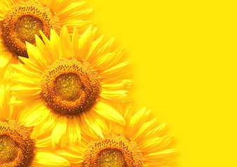 Wall Mural - Sunflower on background of yellow color