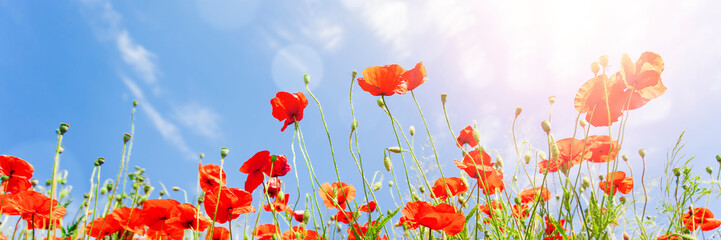 Deurstickers Poppy Red poppy flowers on sunny blue sky, poppies spring blossom, green meadow with flowers