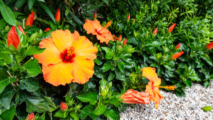 An exotic beautiful jungle flower of red and orange color in a natural habitat. Postcard of the tropical Hawaiian hibiscus rosa sinensis flower IBISCO.