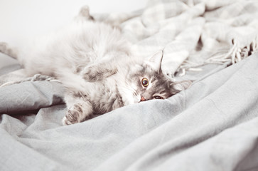 Nice fluffy pussycat lying on a bed with grey bed linen and soft wool bedspread or quilt. The cute cat slept on a bed covered with soft fabrics.