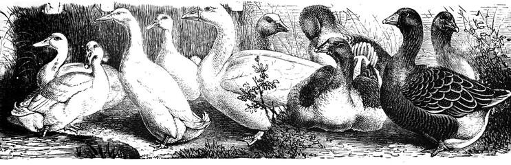 Ducks and goose - Antique engraved illustration from Brockhaus Konversations-Lexikon 1908