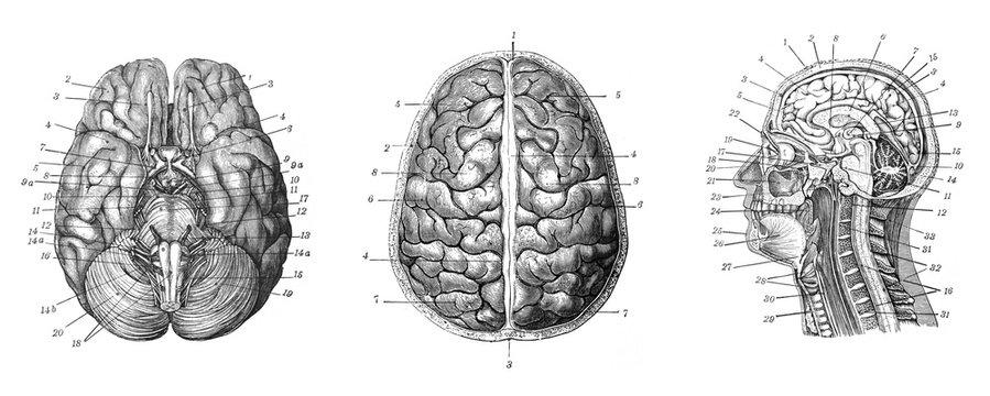 Human brain - Antique engraved illustration from Brockhaus Konversations-Lexikon 1908