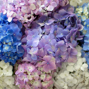 Background of pretty blue, lilac, white and pink hydrangea flowers
