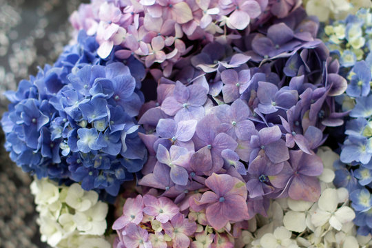 Background of Hydrangea flowers in soft pastel blue and pink