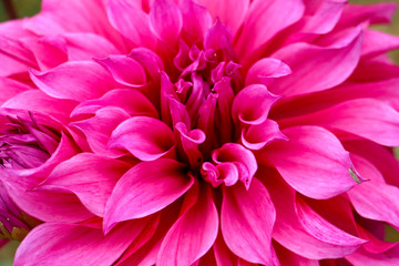 Poster de jardin Dahlia pink dahlia flower
