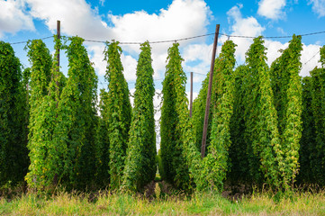 Hop field in late summer. Ripe hop is ready for harvesting. Poland