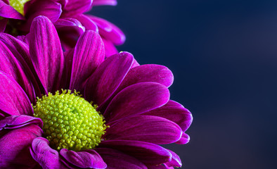 Closeup of a Beautiful Purple Daisy